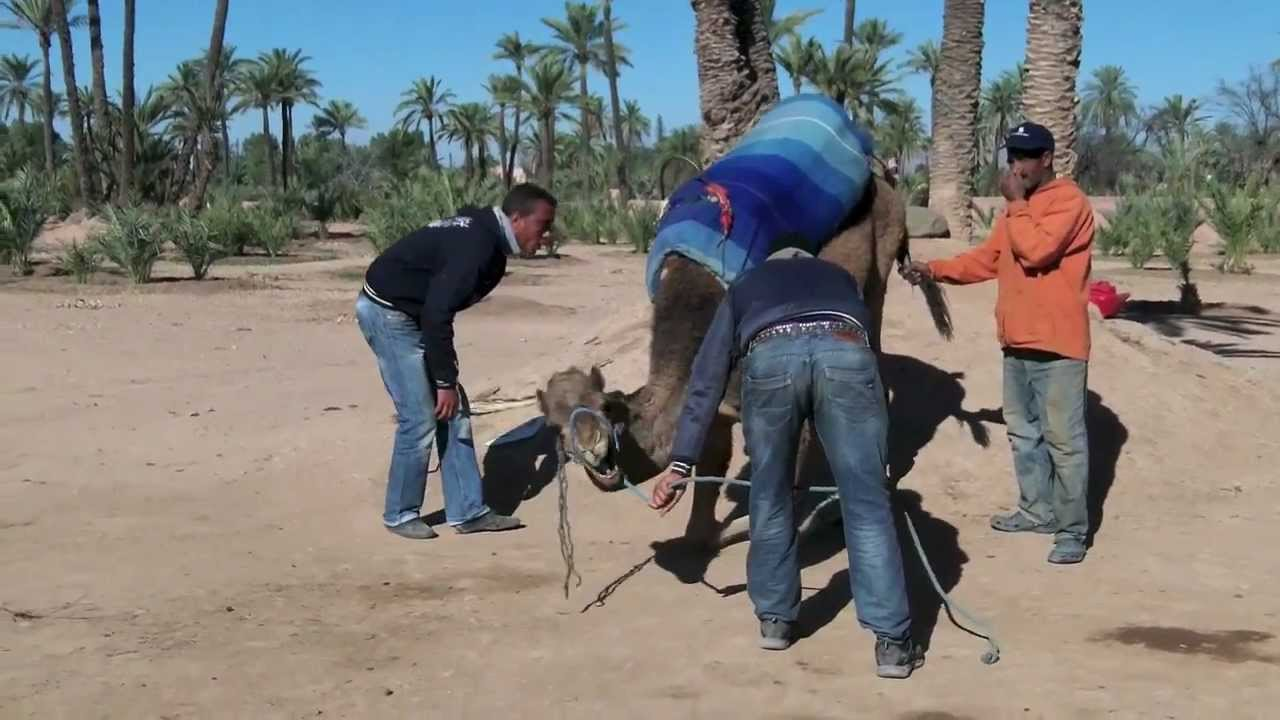 Footage of the Grumpy Camel from Metok's camera