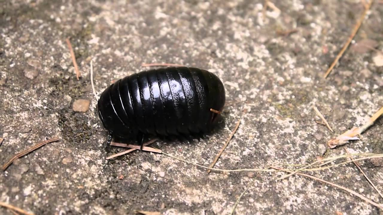 Huge Pillbug/Roly Pollie/Rollie Pollie found in India